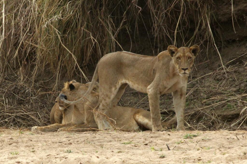 leeuwen in W-C Afrika_IEKirsten