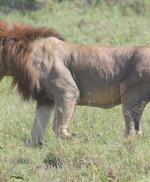 Toename in conflicten tussen leeuwen en veehouders rondom Nairobi National Park (Kenia). Stichting Leo steunt onderzoek met het zenderen van twee leeuwen.