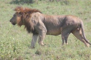 Volwassen mannelijke leeuw met satelliet-halsbandzender in Nairobi Nationaal Park