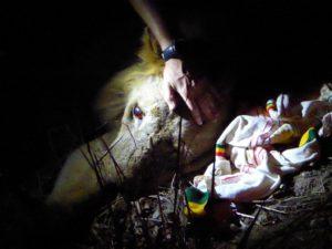 De mannelijke leeuw met de oogproblemen, waarschijnlijk veroorzaakt door vergiftiging.