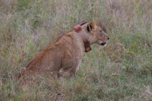 Lioness Nina the following day.