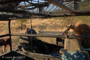 Observeren van leeuwen bij de Okavango delta. Van alle leeuwen wordt de identiteit bepaald met behulp van unieke patronen bij de snorharen.