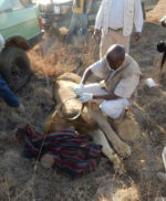 Decollaring of two lions in Nairobi NP