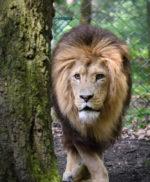 Achter de schermen bij de leeuwen in Burgers Zoo!